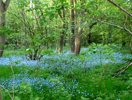 Forget-me-nots in Dukes Wood
